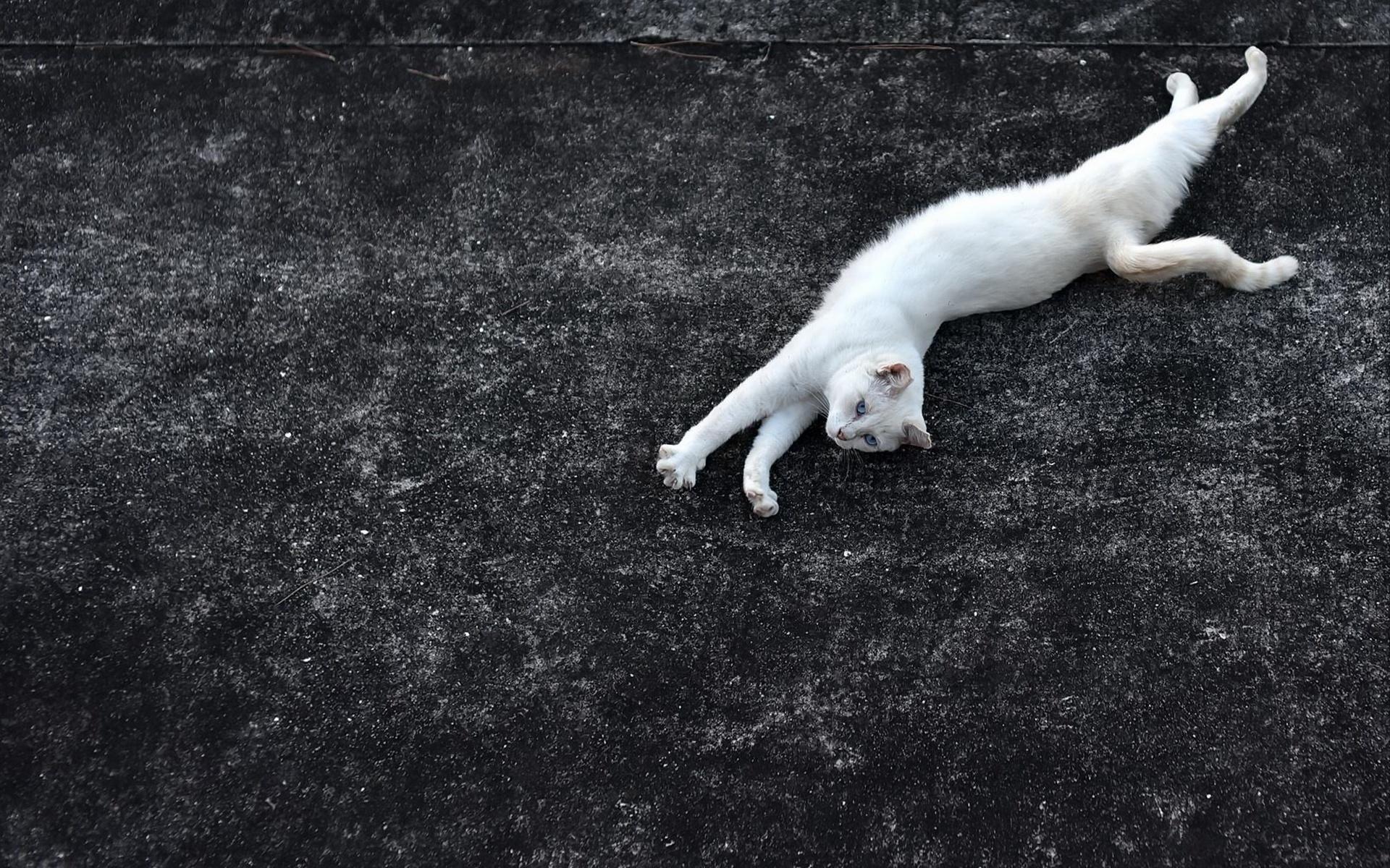 кошка, кот, белая кошка, асфальт, грация, голубые глаза, растянулась, черный фон
