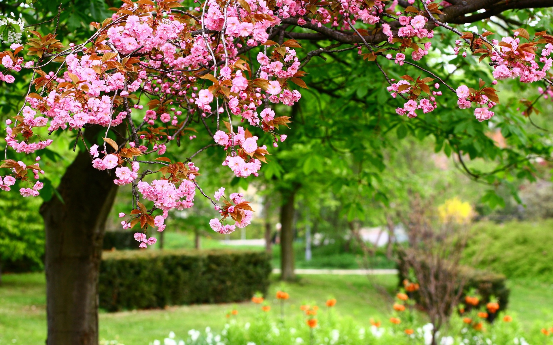 природа, весна, парк, дерево, ветки, цветение, сакура, кусты