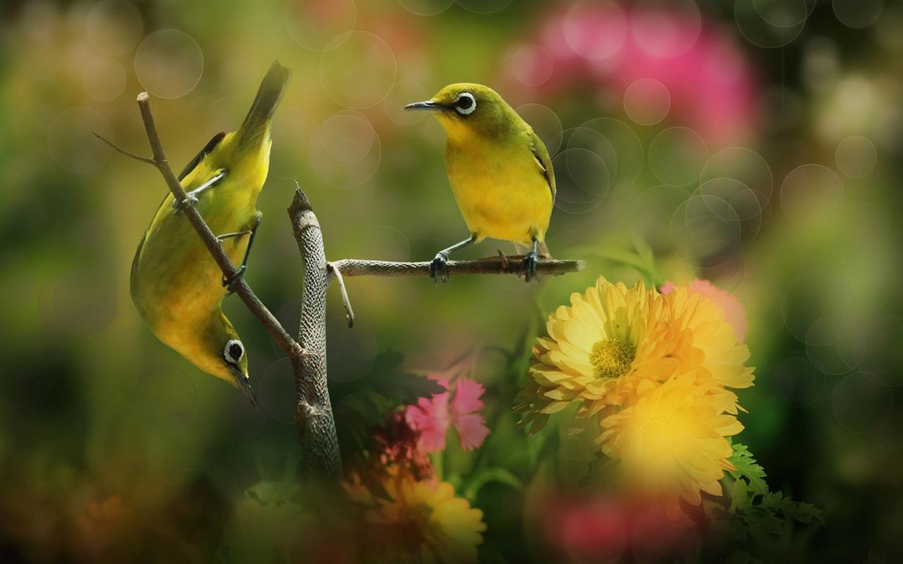 птицы мира, белый глаз, природа, парочка, пара, ветка, цветы, боке, белоглазка
