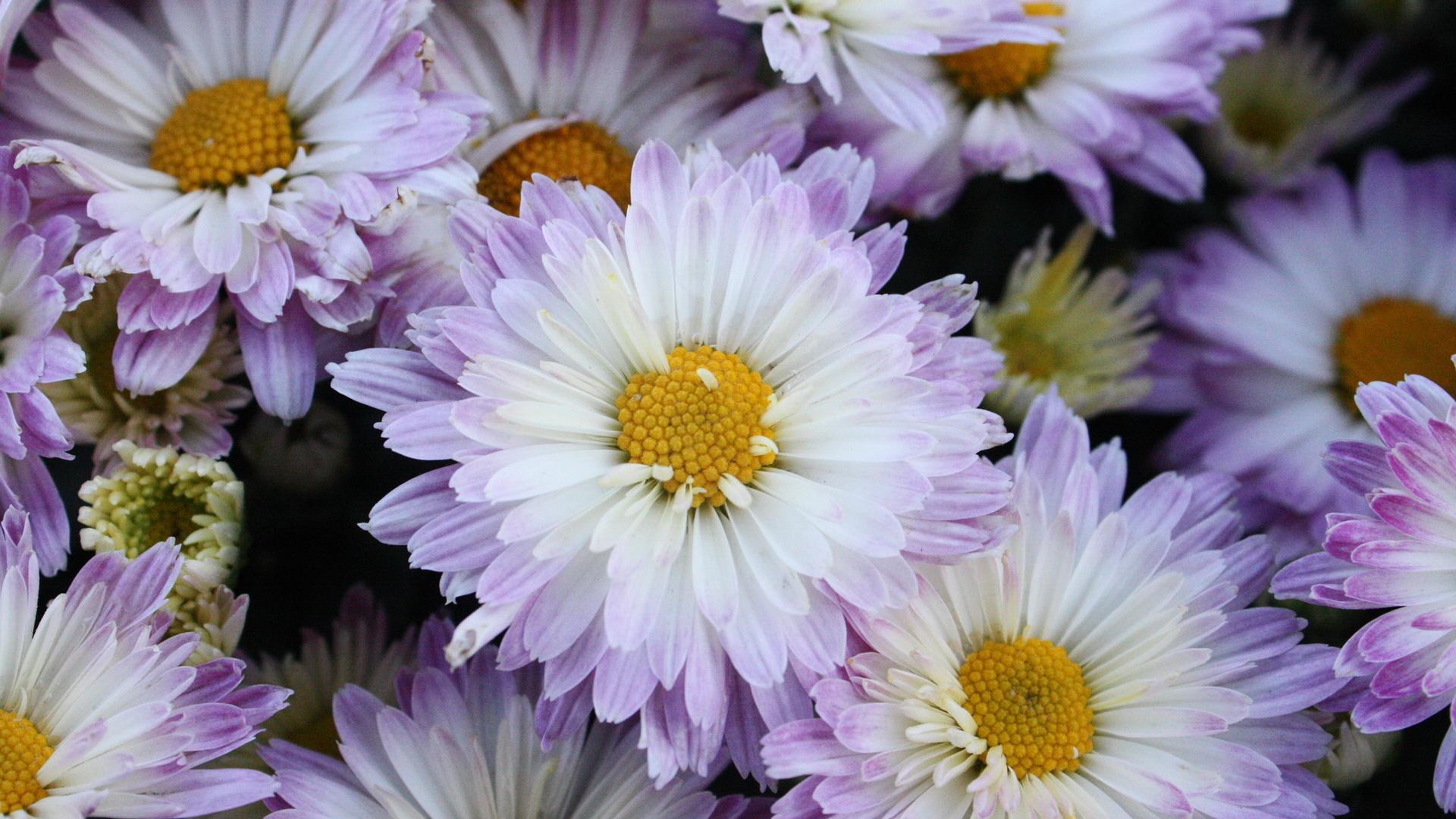 Обои на рабочий стол хризантемы красивые 2