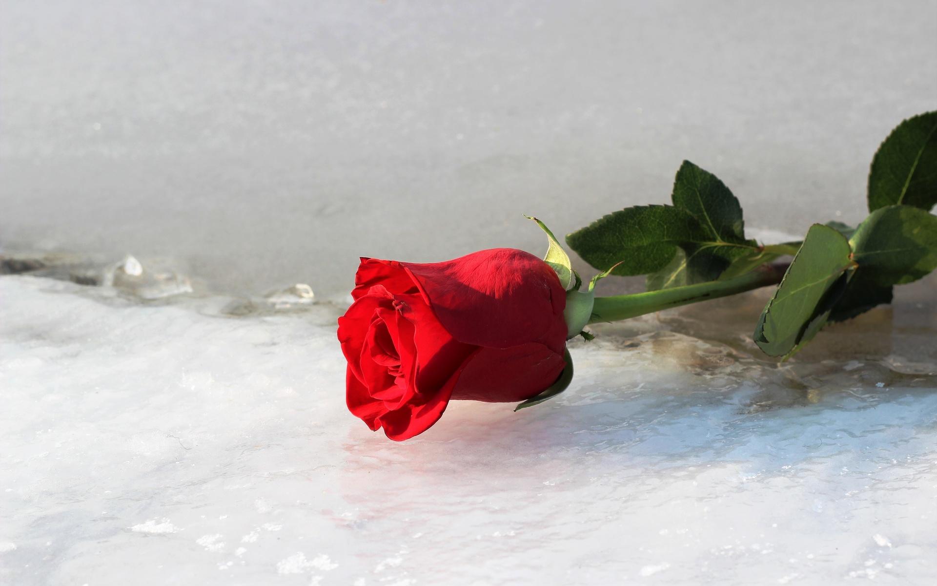 Открытки с розами на снегу