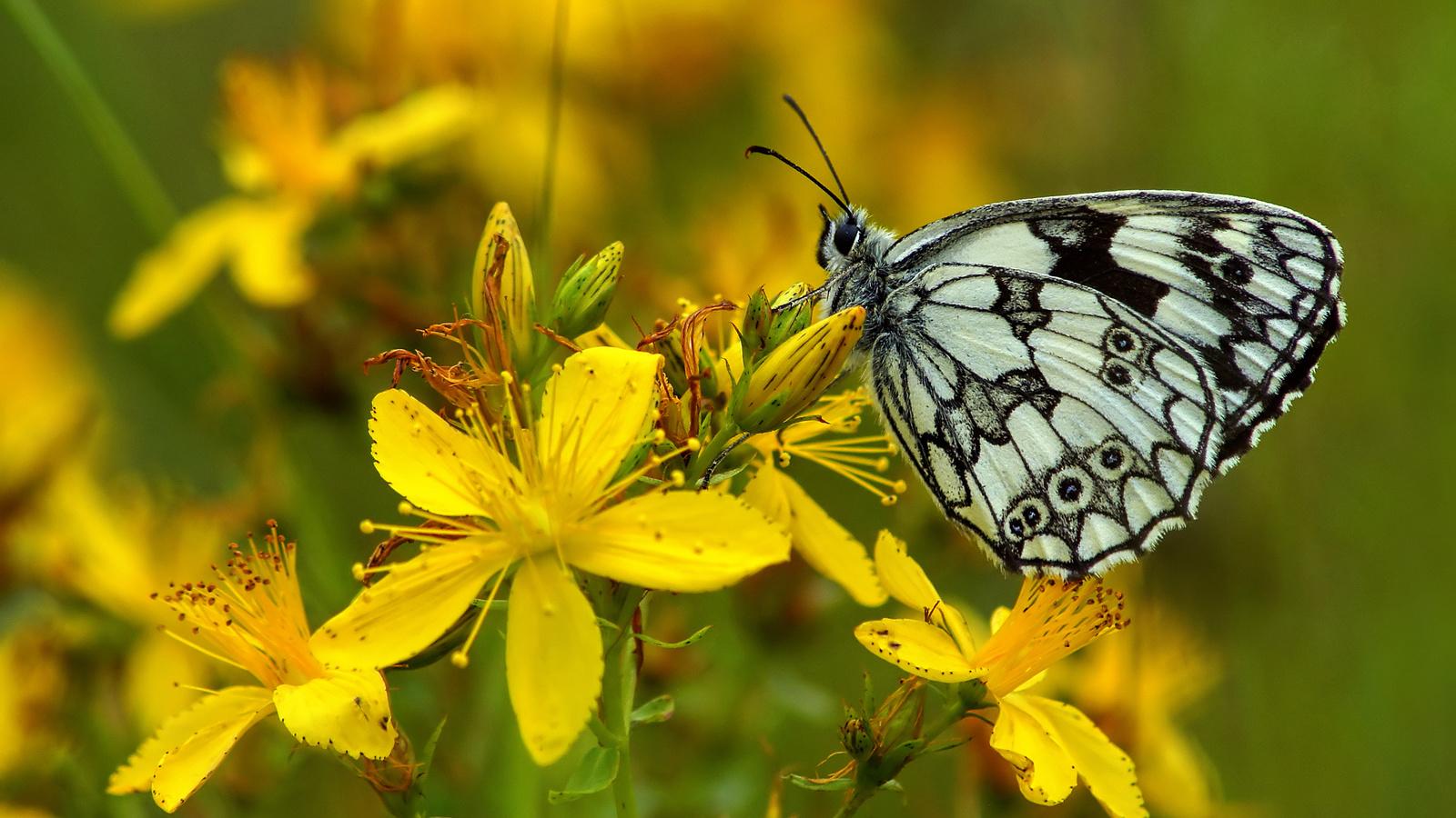 бабочка, butterfly, метелик, квітка, зверобой, макро