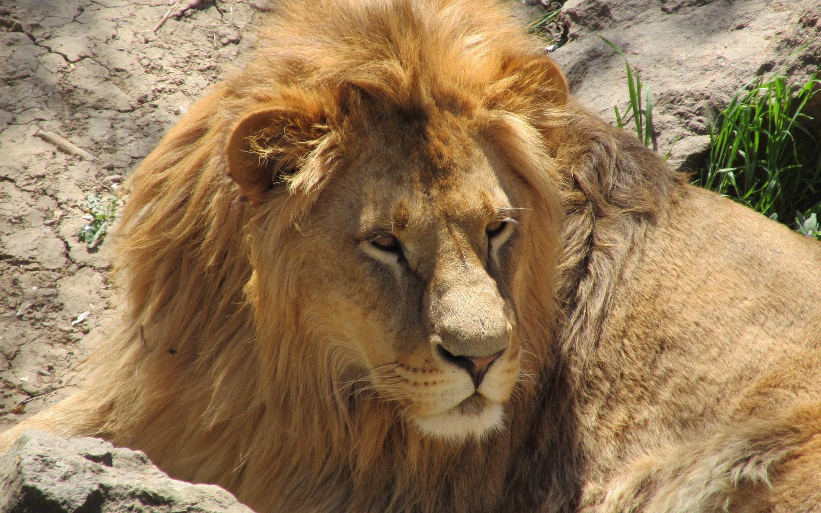 лев, кошки, дикие кошки, лето, отдых