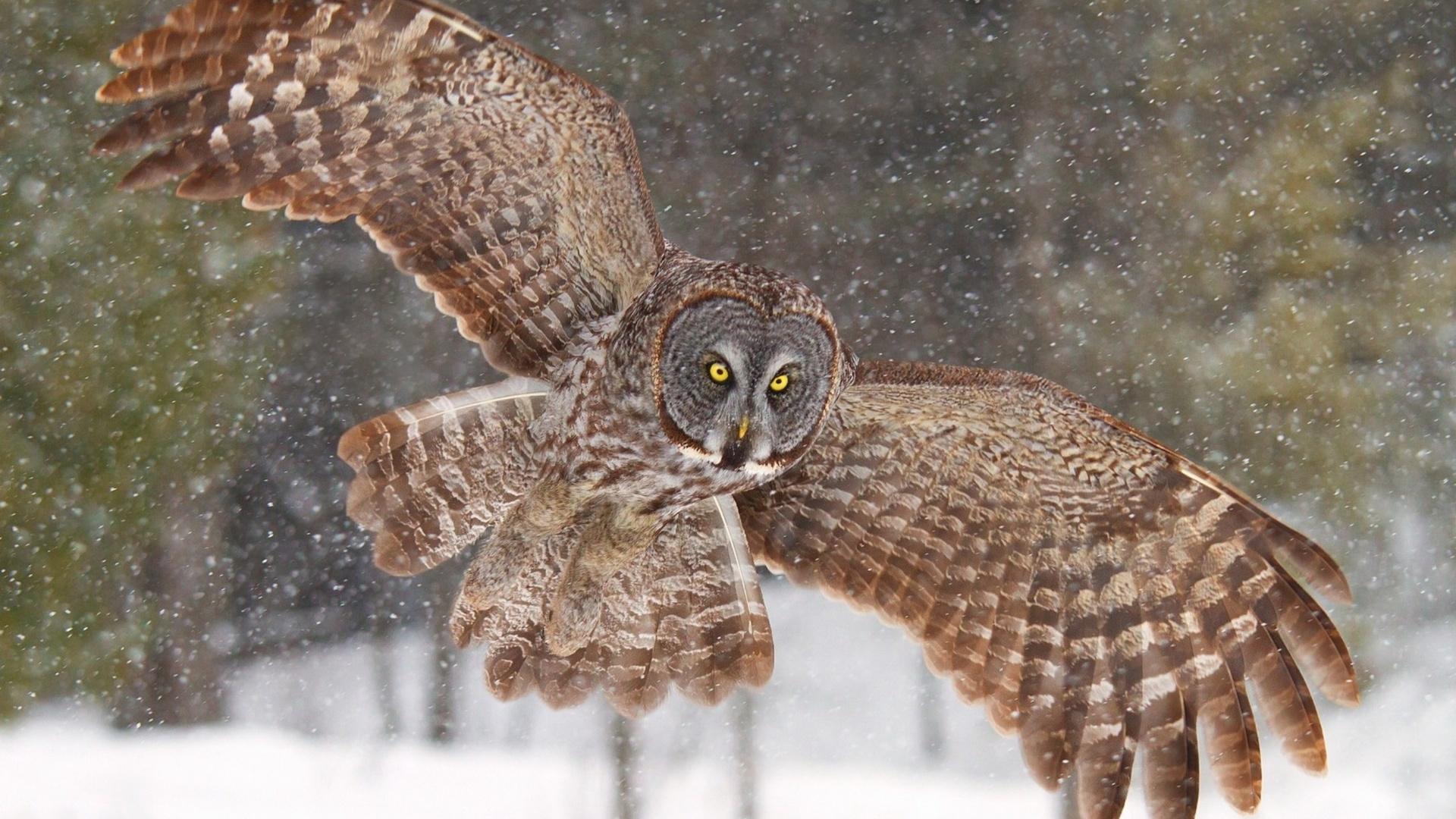 сова, крылья, птица, снег