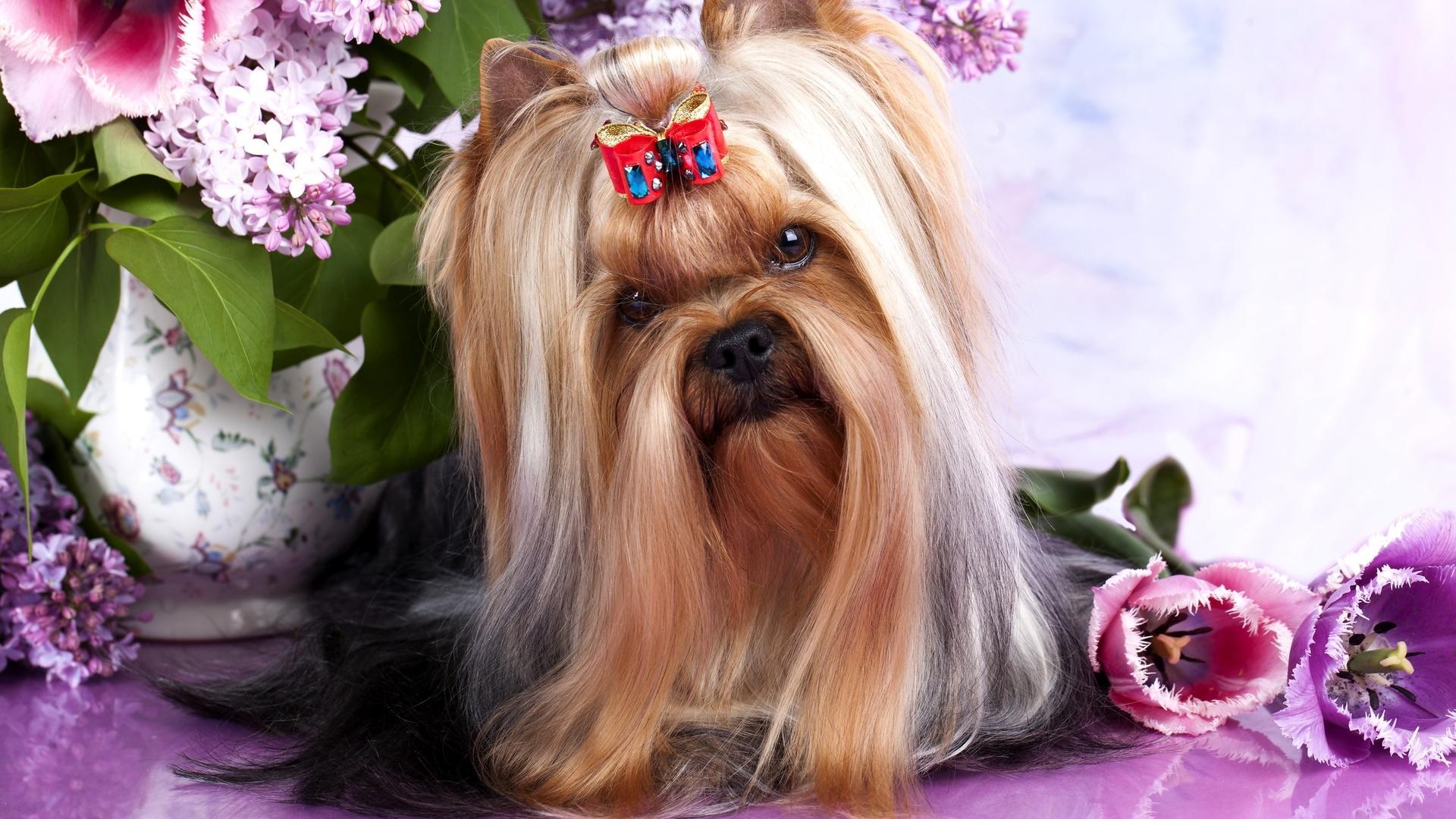 австралийский шелковистый, терьер, собака
