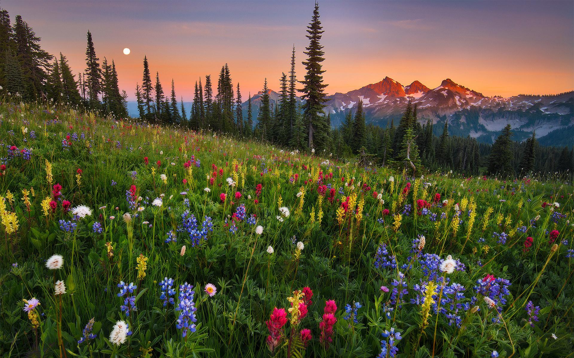природа, пейзаж, лето, горы, луга, травы, цветы, утро, рассвет, деревья, ели, склон