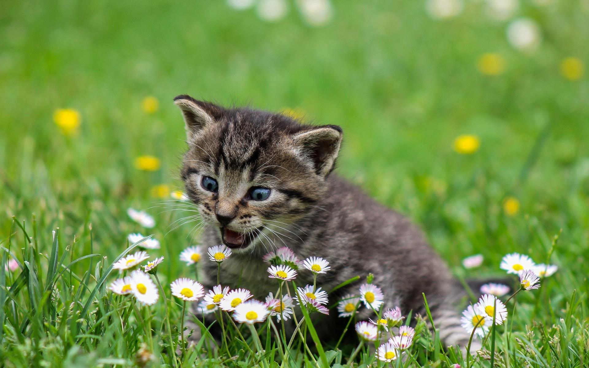 животное, котёнок, детёныш, природа, лето, трава, цветы, маргаритки