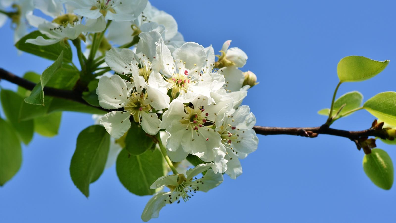 природа, весна, ветка, яблоня, цветы, листья, цветение, небо
