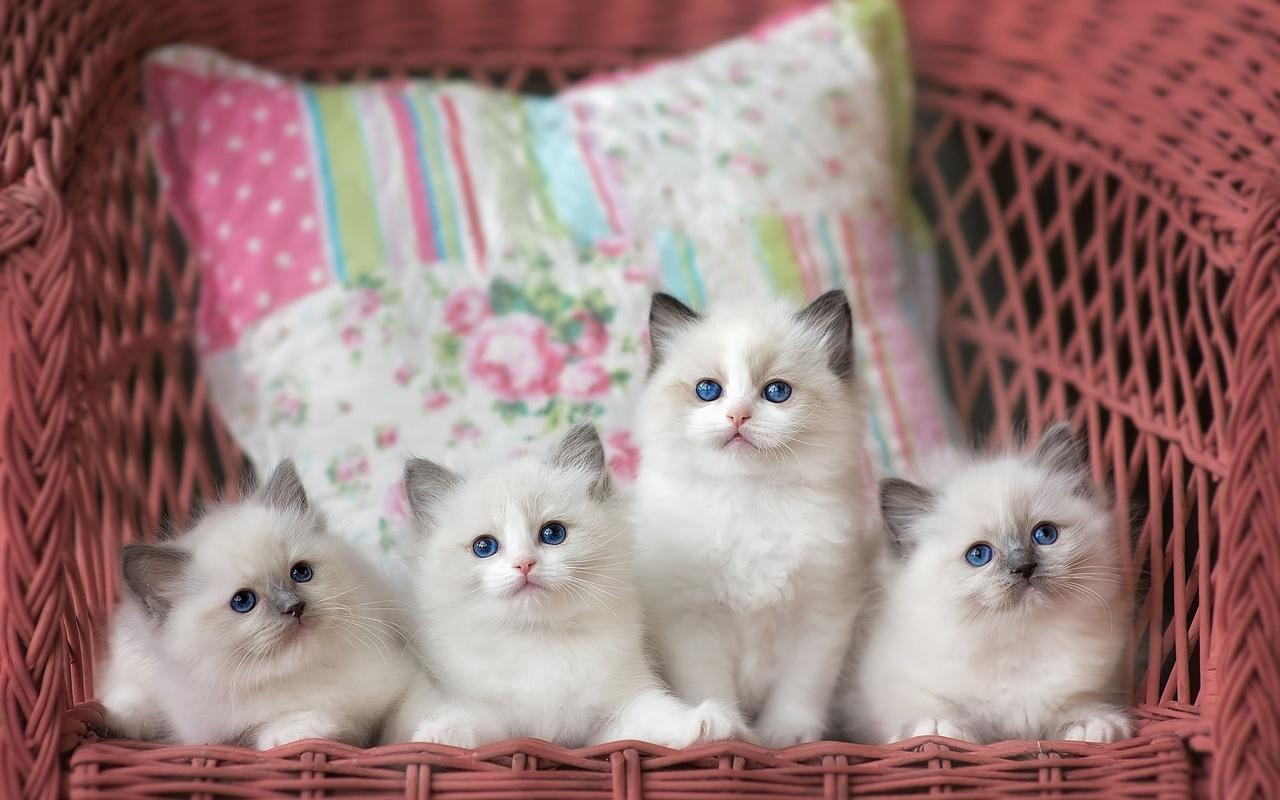 животное, котята, рэгдолл, ragdoll, квартет, кресло, подушки