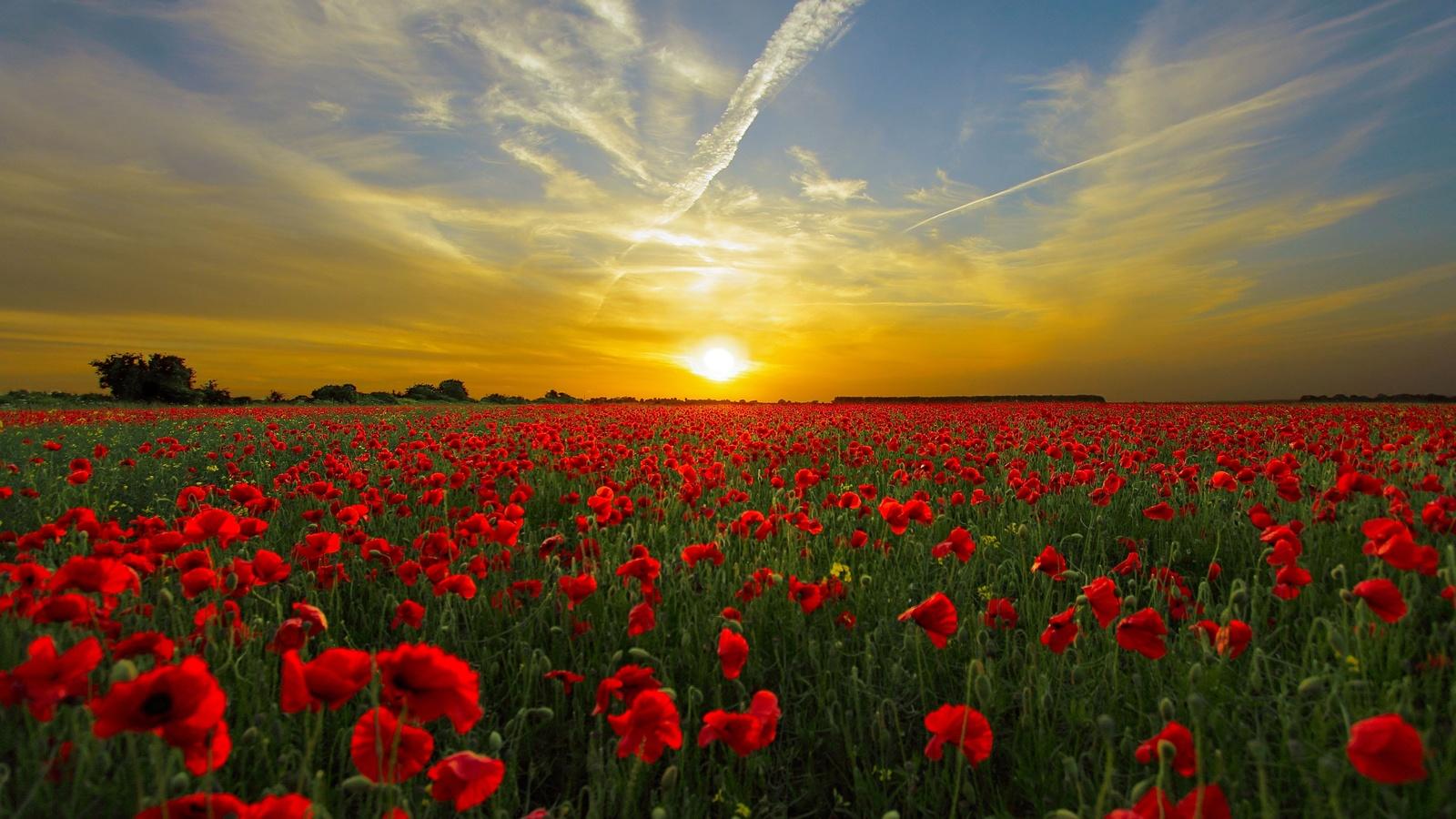 природа, пейзаж, лето, поле, цветы, маки, закат, солнце