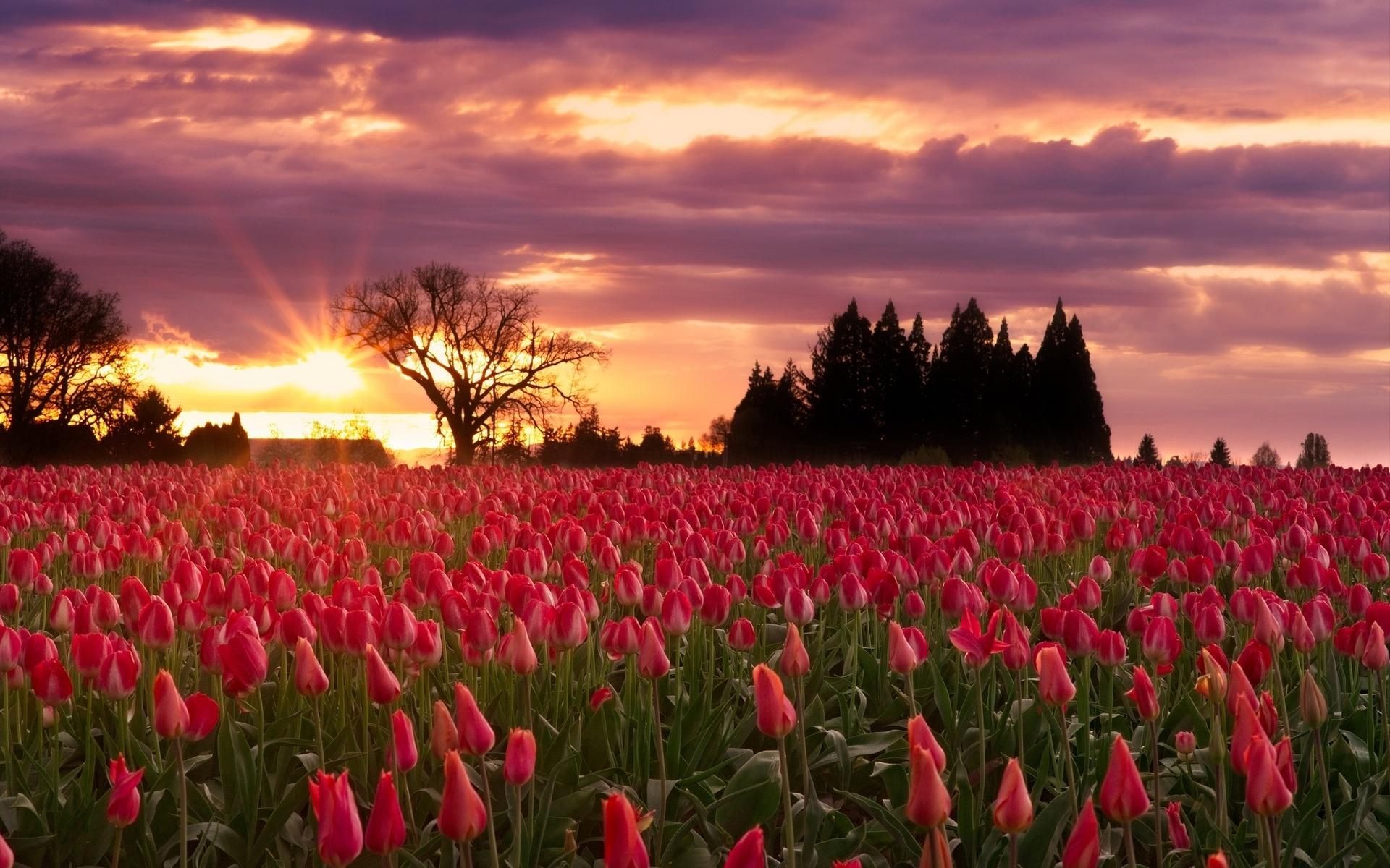 природа, весна, пейзаж, деревья, поле, цветы, тюльпаны, закат, солнце, лучи