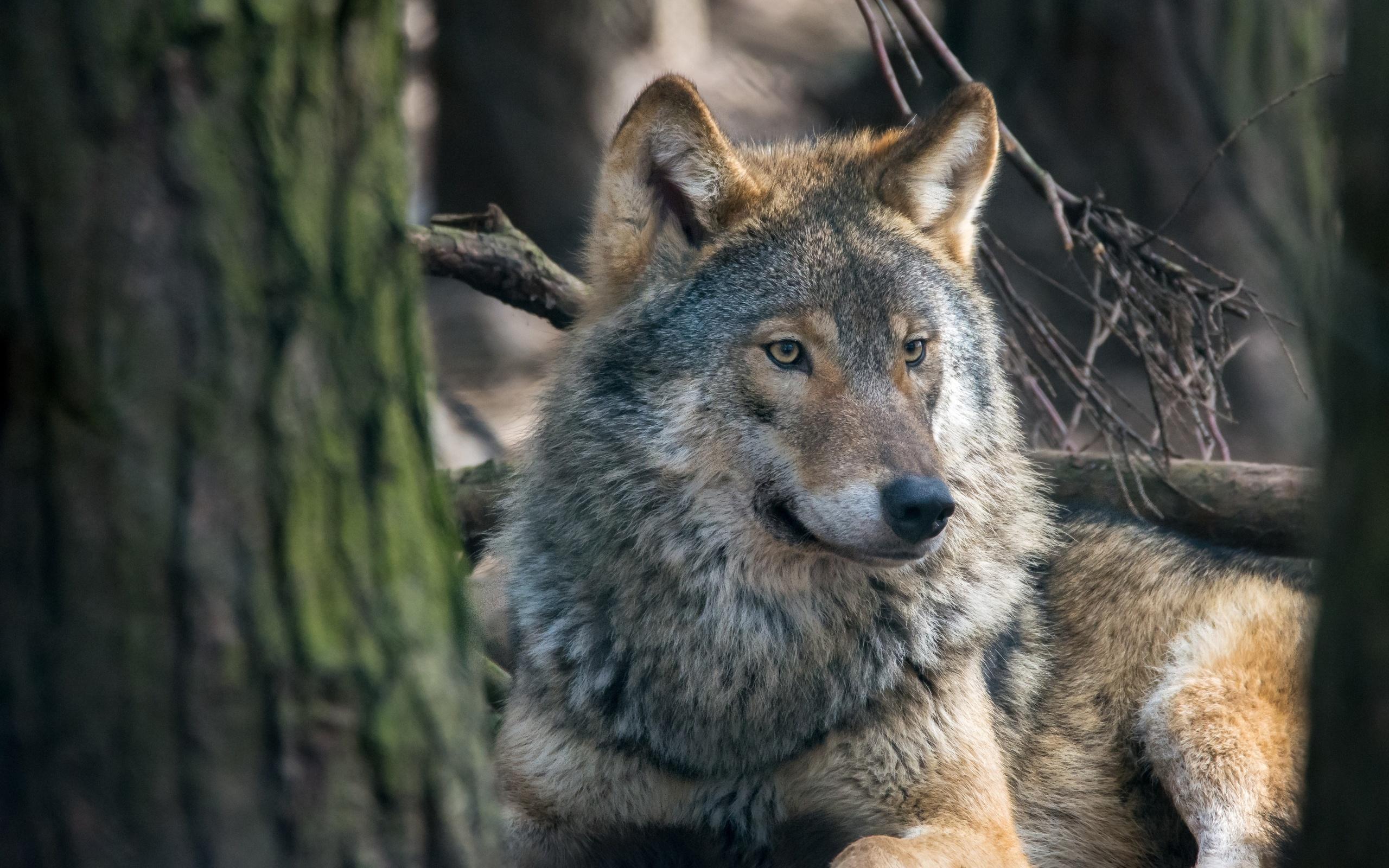 картинки серые волки на обои они получают желаемое