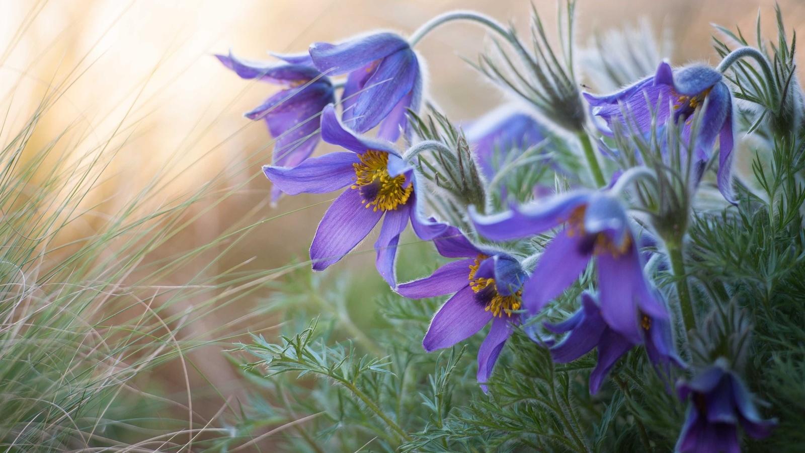 Прострел, сон-трава, весна, голубой, нежность.