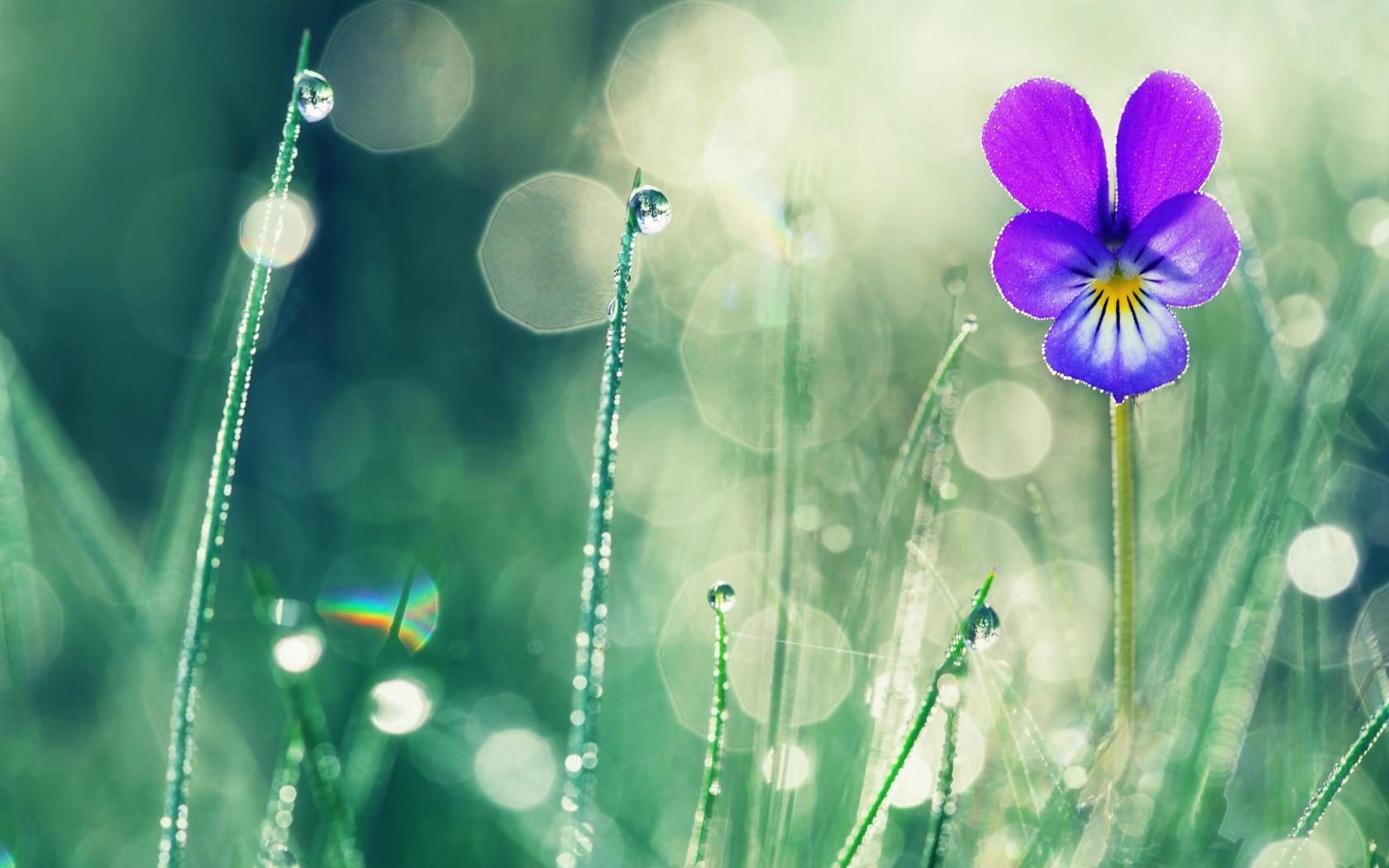 valentin valkov, природа, лето, трава, цветок, фиалка, макро, боке, капли, роса