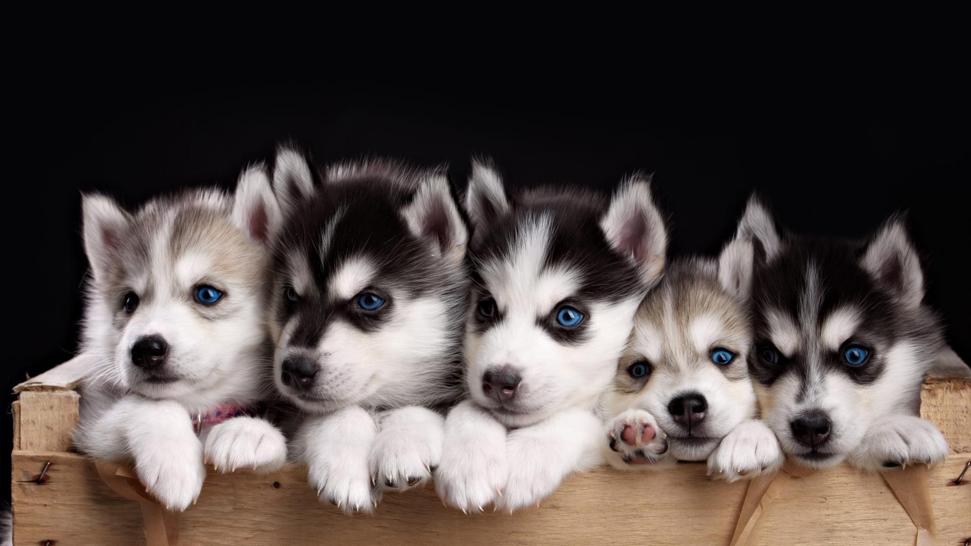 Милые картинки с собачками хаски, поздравлением днем