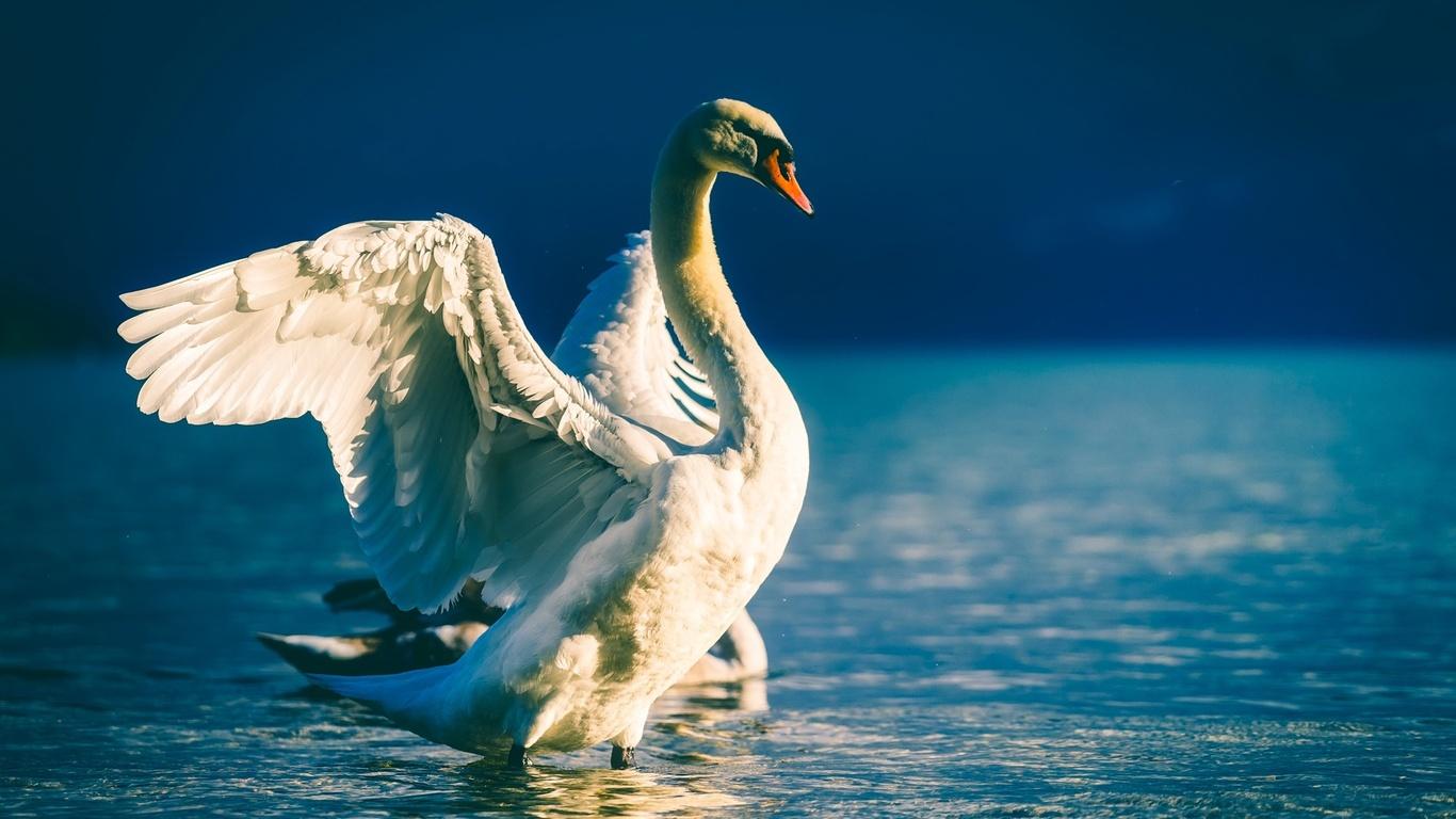 птицы мира, птица, лебедь, крылья, размах, вода, водоём
