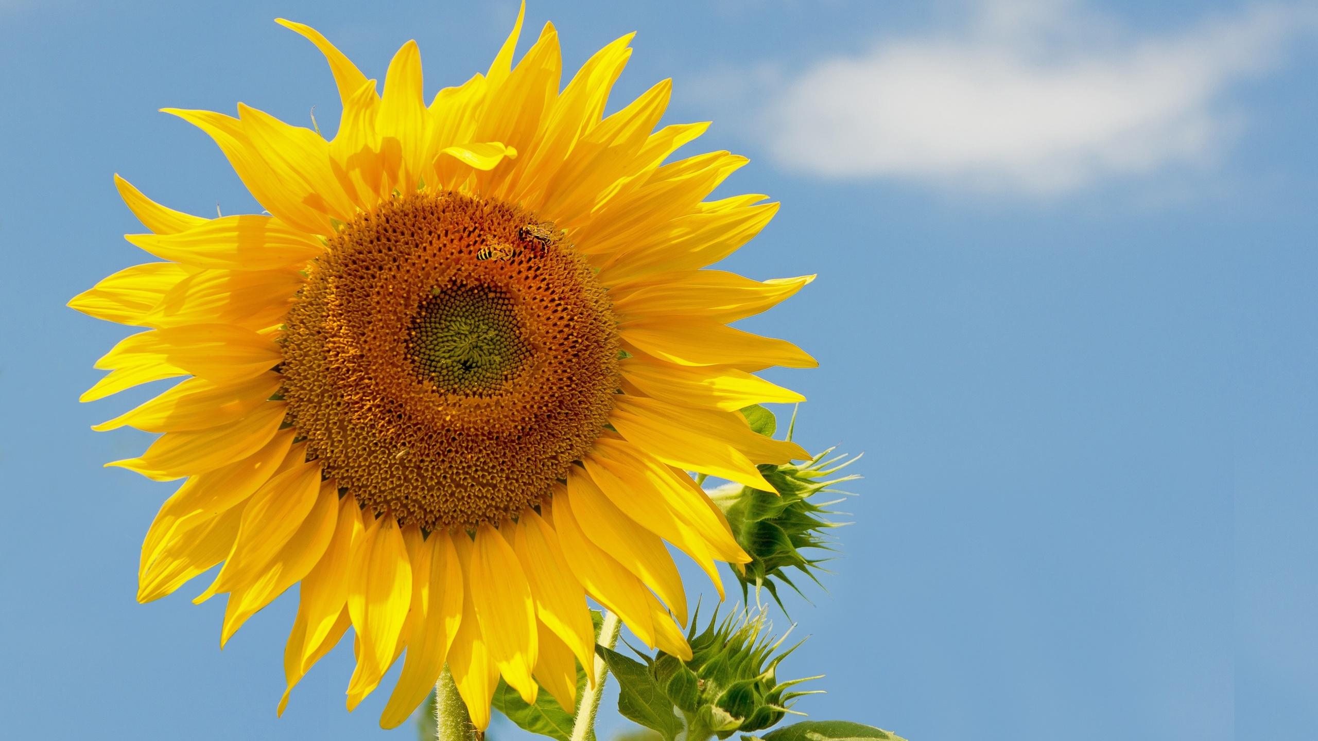 подсолнух, небо, пчёлы