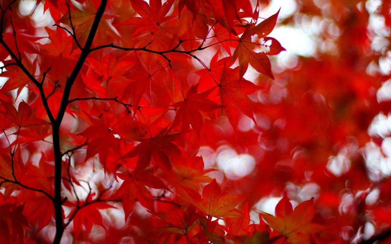 осень, японский клен, клен, листья