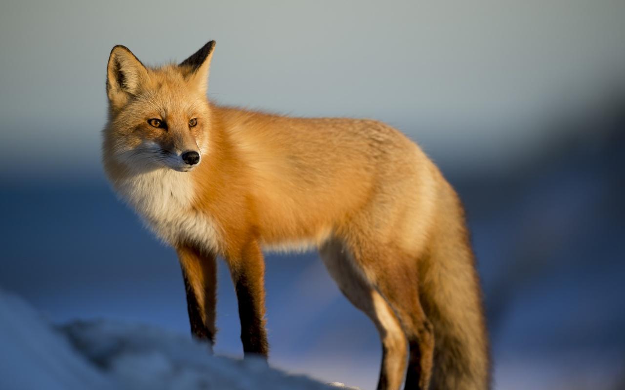 Открытки животные лиса, нарисовать рождественская открытка
