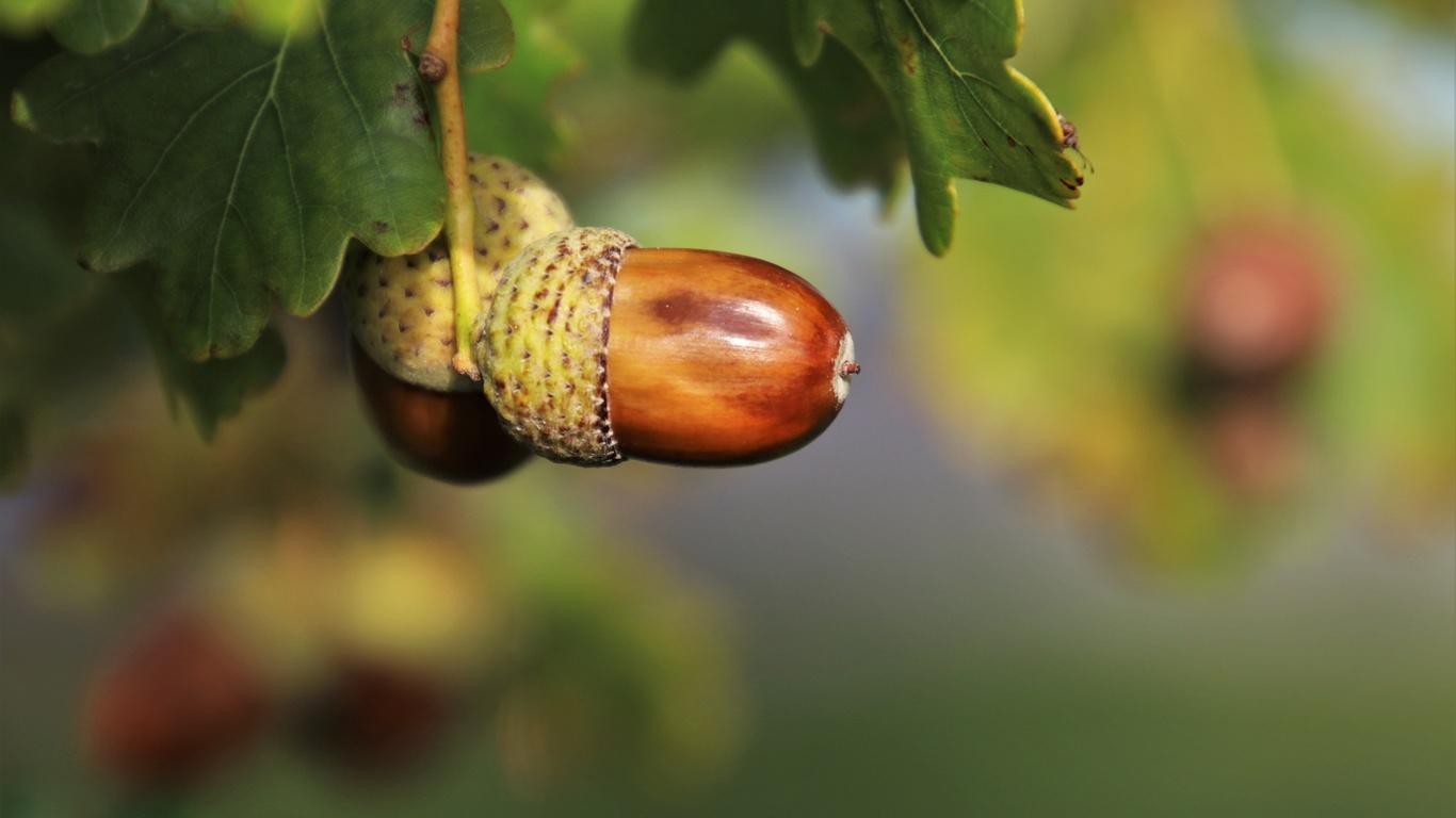 природа, ветка, дуб, листья, плоды, жёлуди, осень, макро