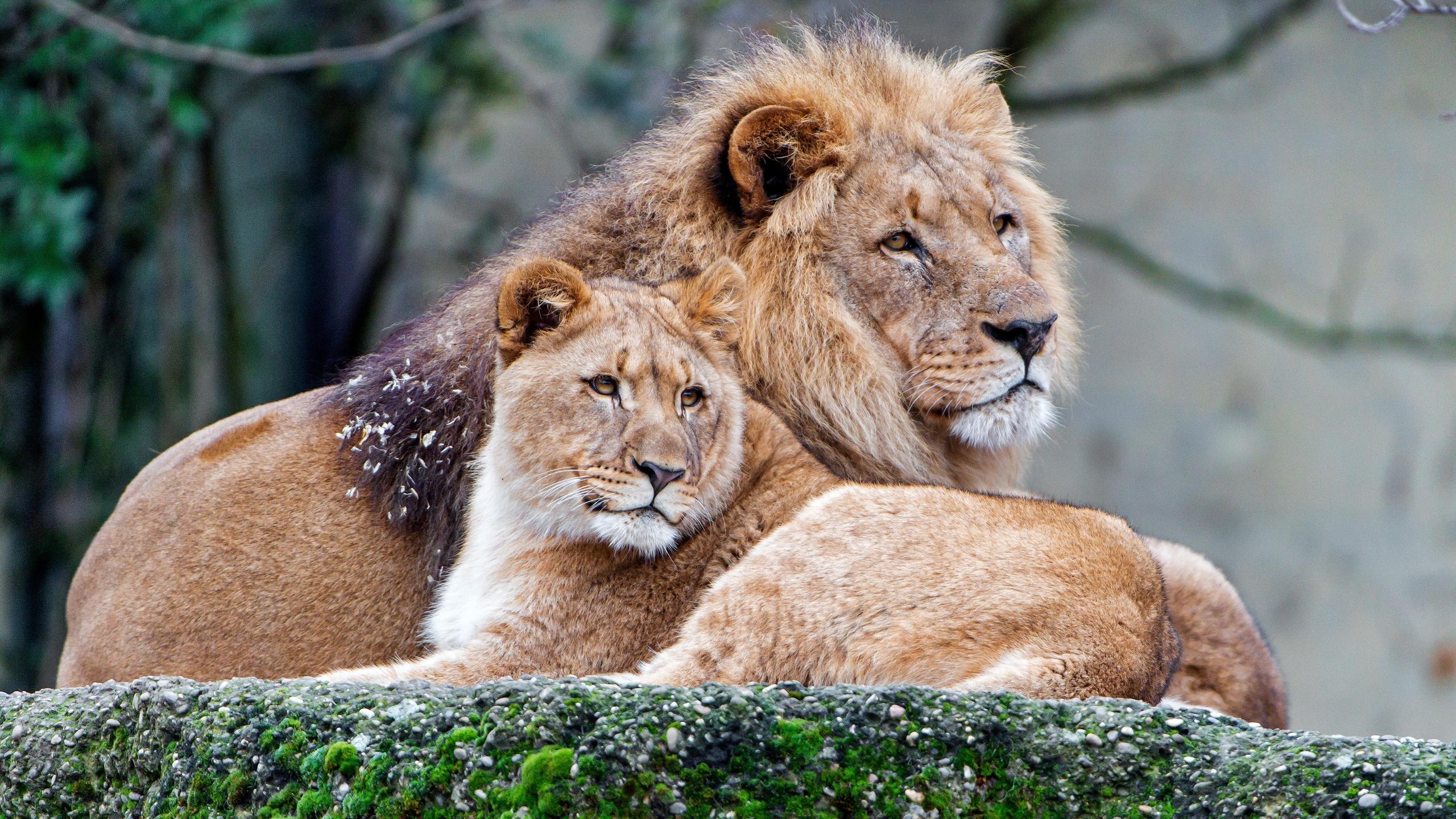 Картинки лев с львицей про любовь