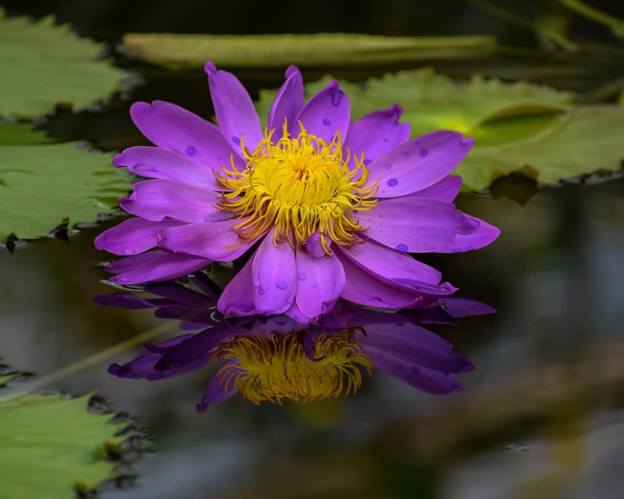 сиреневый, цветок, лотос