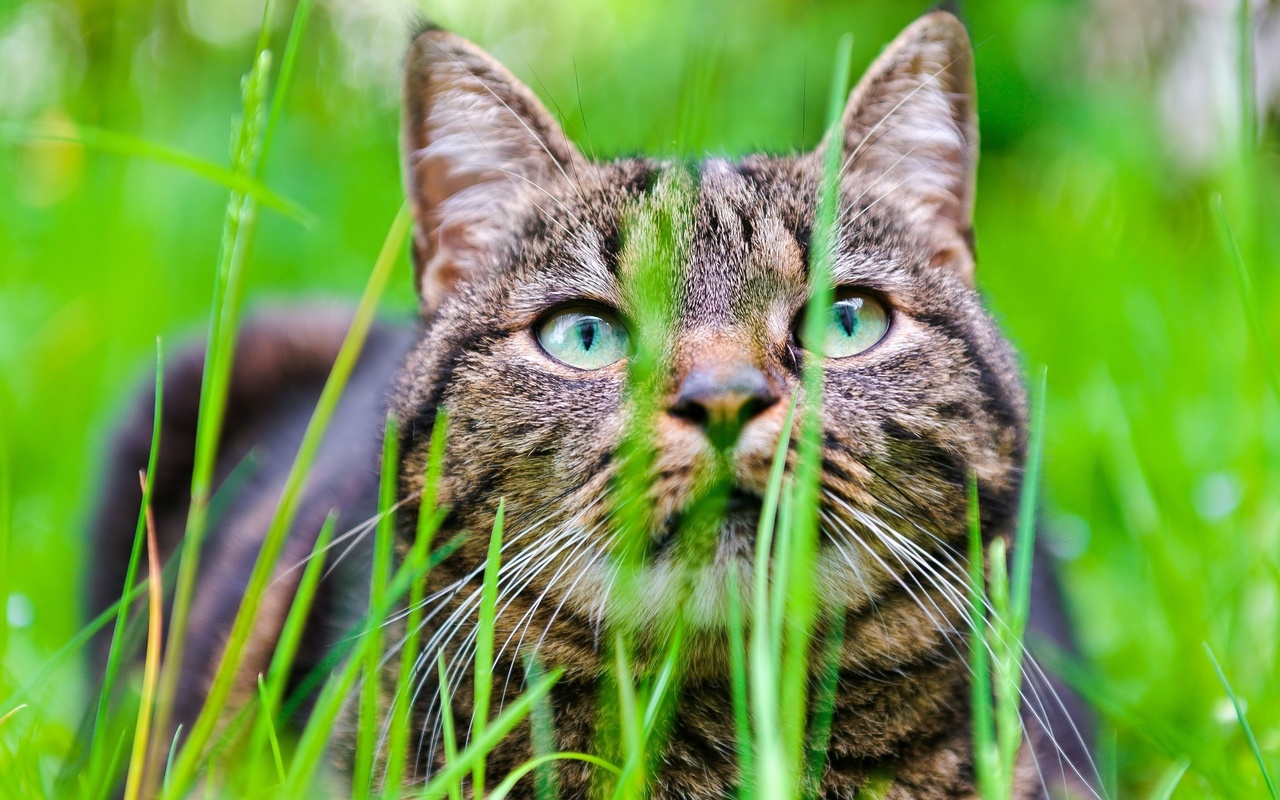 кот, трава, морда, взгляд