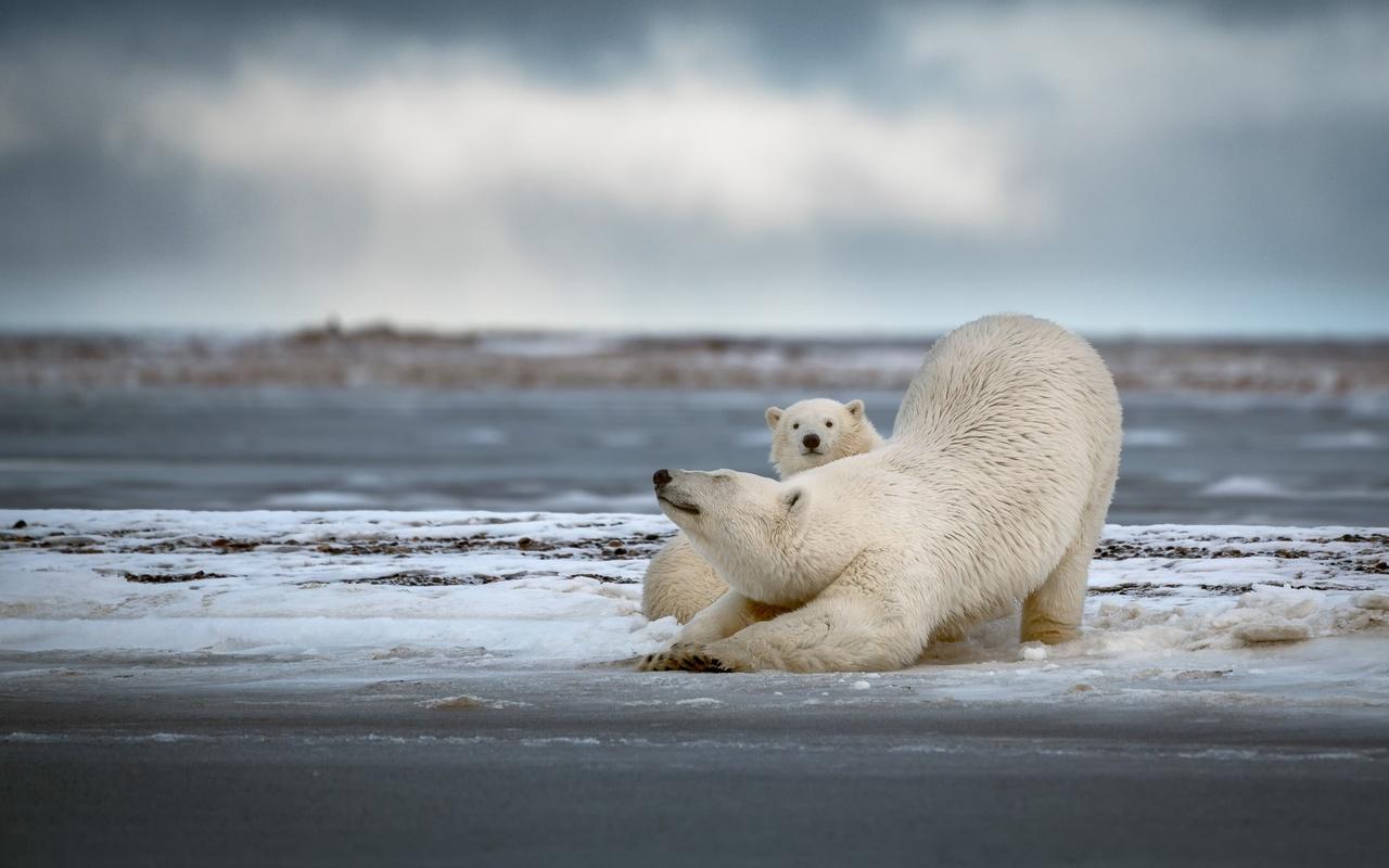 животные, хищники, белые медведи, медведица, поза, медвежонок, детёныш, природа, вода, снег