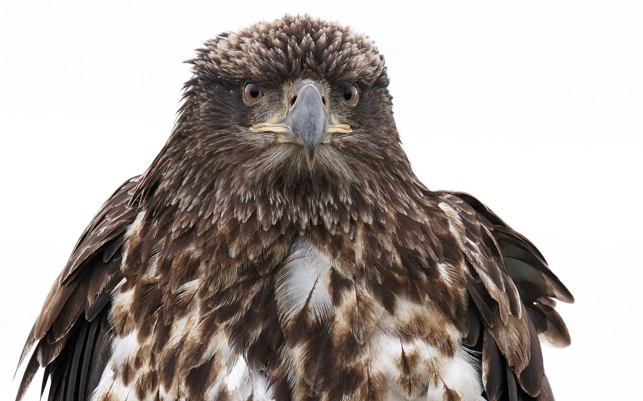 животные, птица, орел