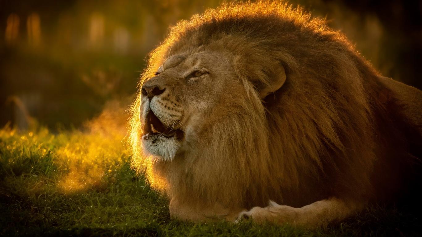 морда, лев, грива, царь зверей, дикая кошка