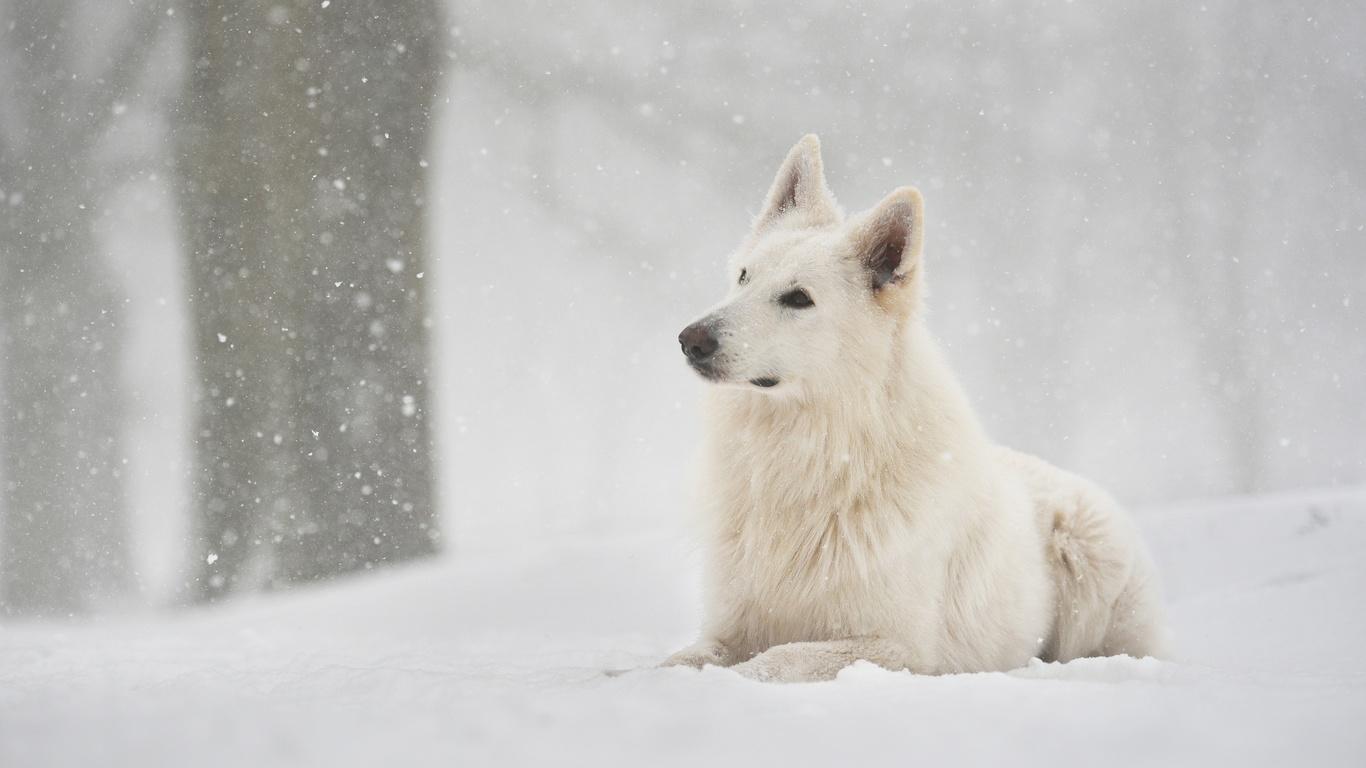 швейцарская овчарка, снег, зима, собака, друг, животные