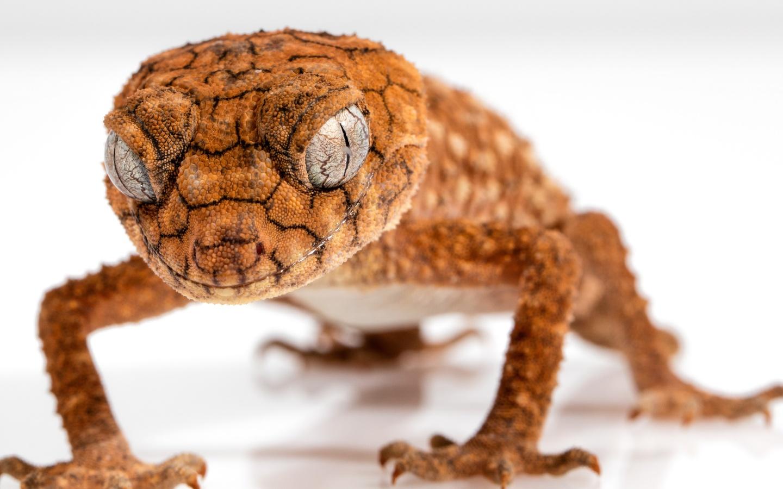 Ящерица, рептилия