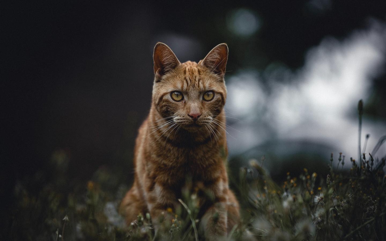 кот, рыжий, взгляд, трава