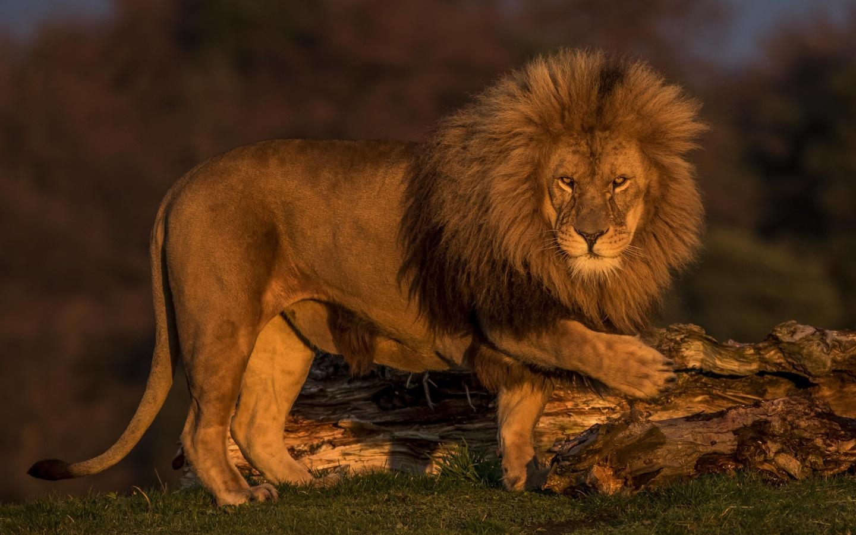 лев, lion, хищник