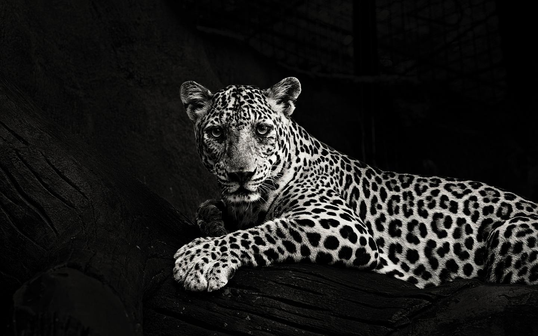 дикие кошки, ягуар, хищник