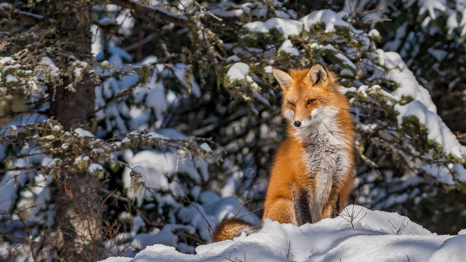животное, лиса, лисица, природа, зима, снег, лес, деревья