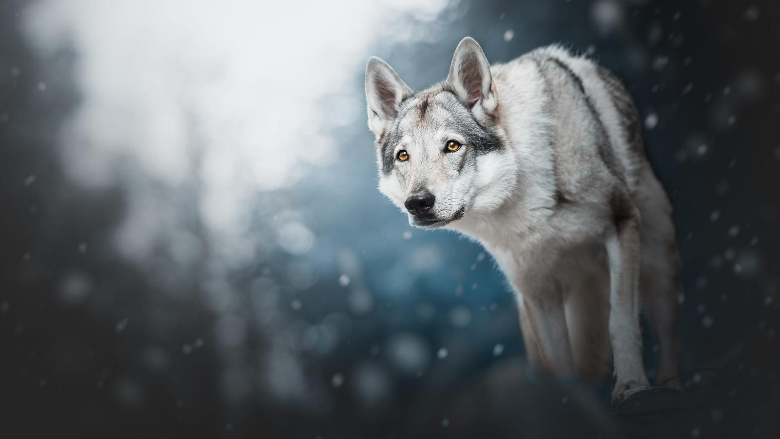 животное, собака, пёс, взгляд, зима, снег