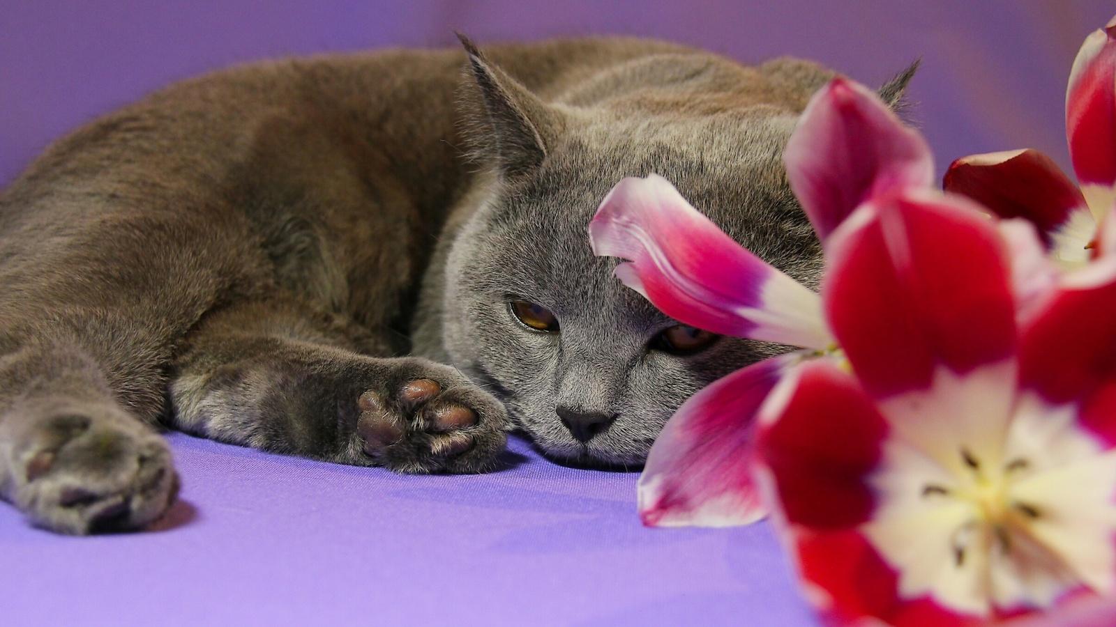 животное, кот, кошка, цветы, тюльпаны