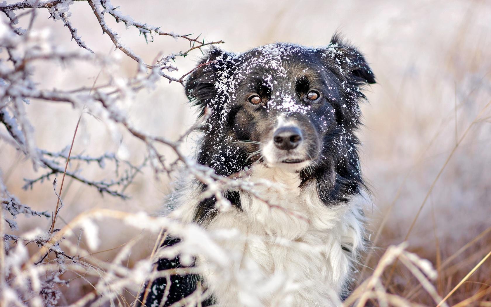 животное, собака, пёс, бордер-колли, природа, зима, снег, ветки