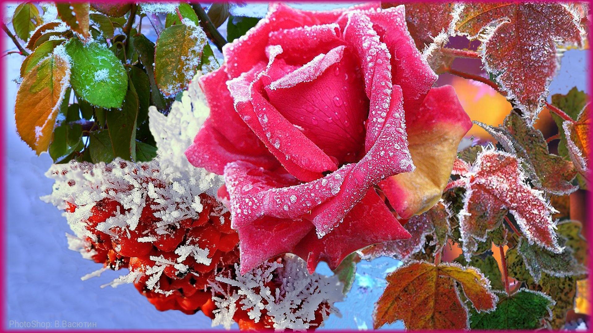 фотошоп, роза, калина, листья, изморозь, лепестки,красный,желтый,зеленый,цвета,голубое,небо