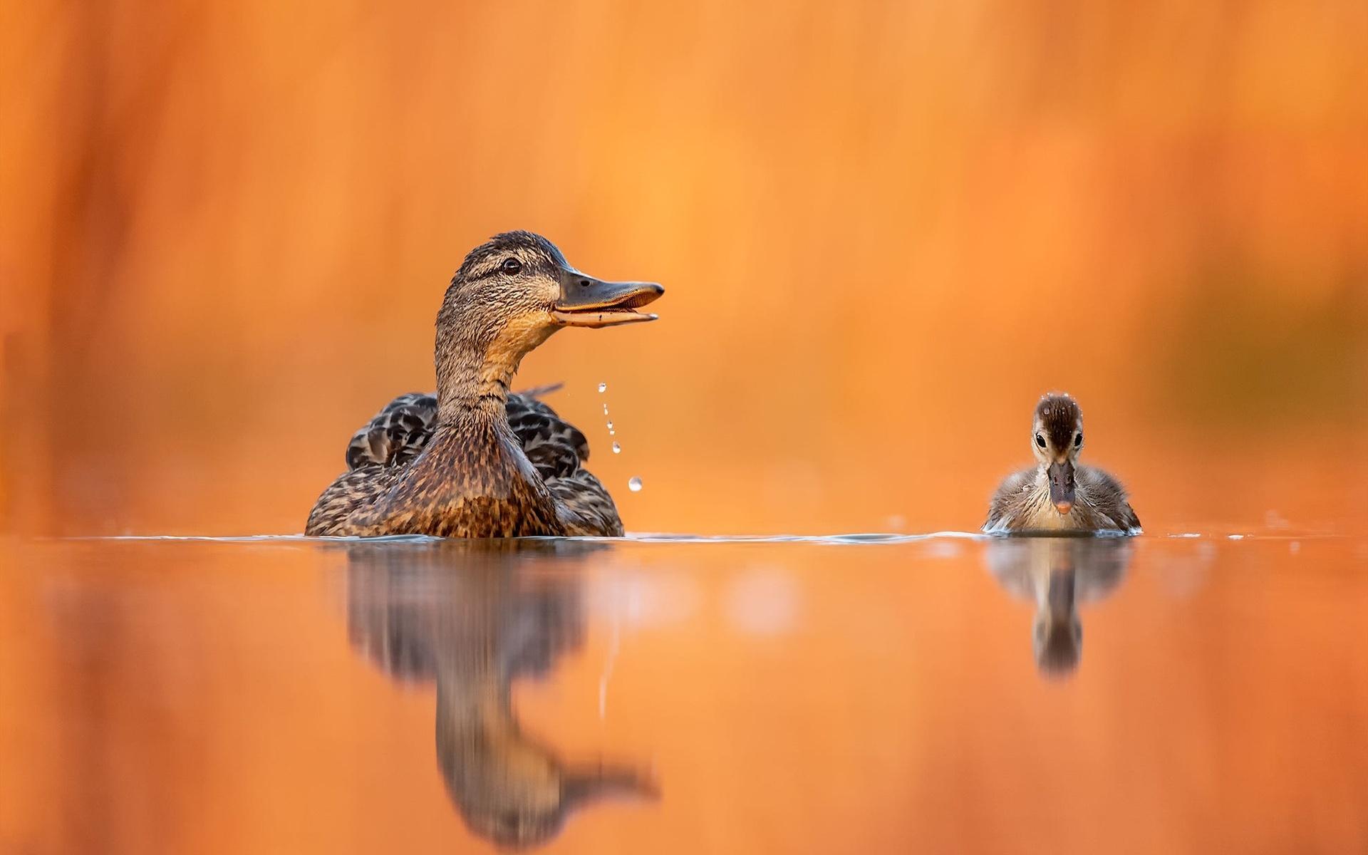 птицы мира, птицы, утка, утёнок, детёныш, птенец, вода, капли, отражение