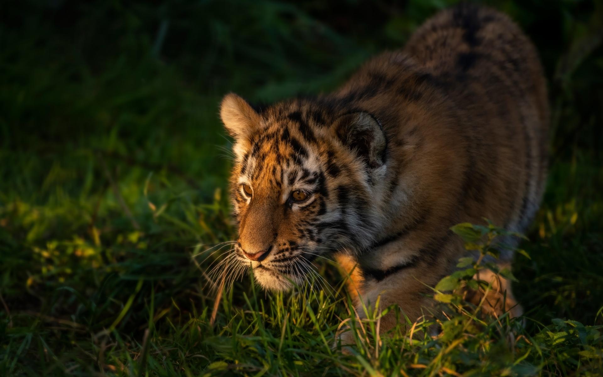 тигр, взгляд, тигрёнок, морда, трава