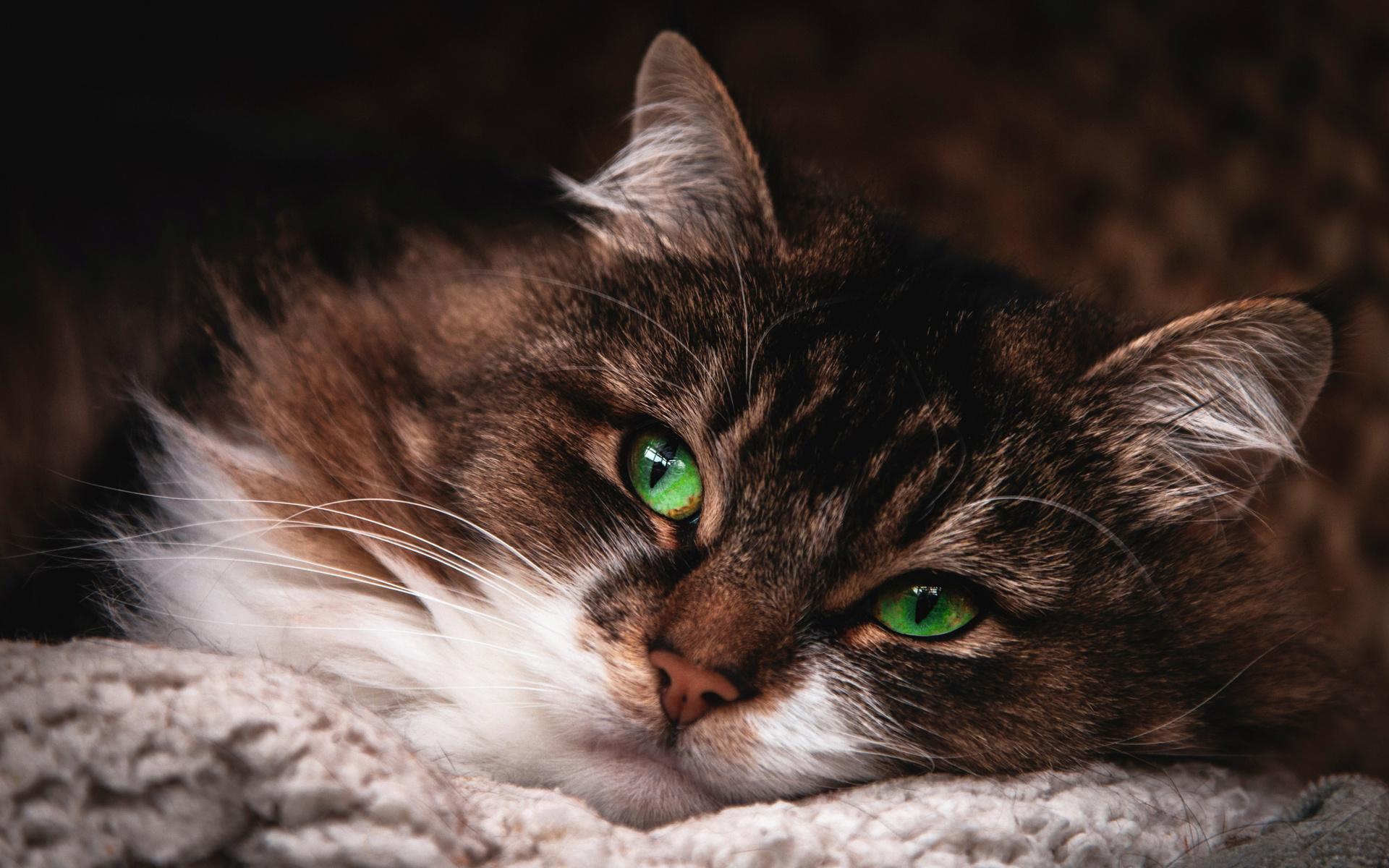 коричневая, кошка, зеленые глаза, животные