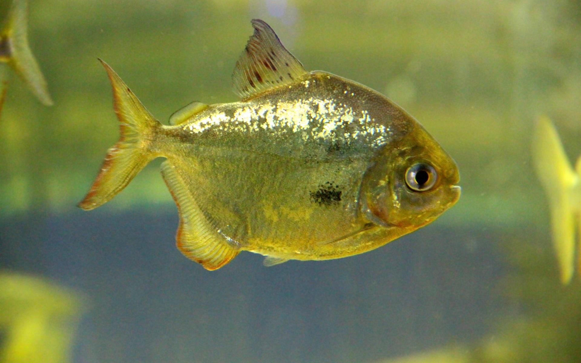 рыба, пиранья, аквариум