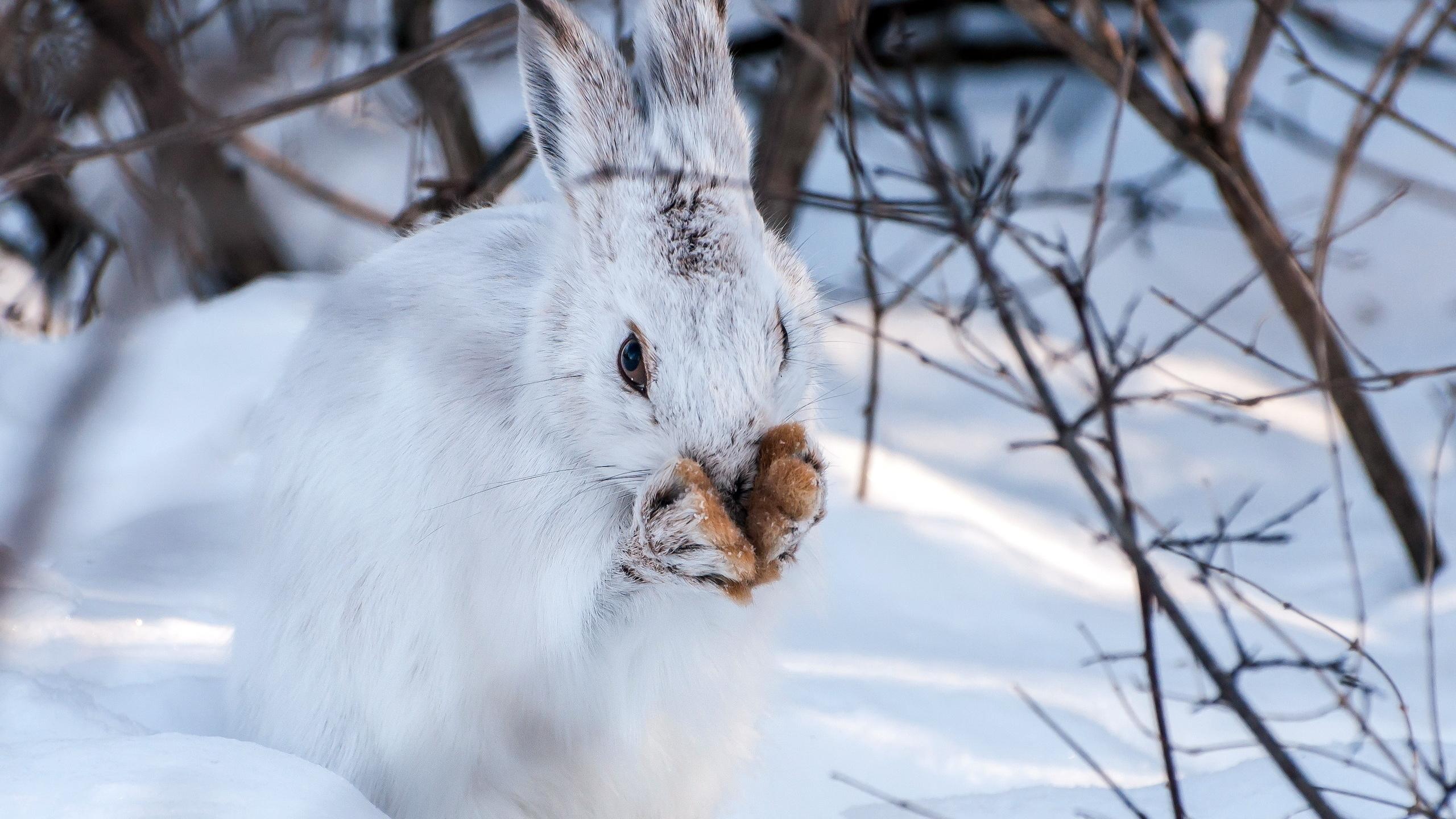 заяц, зима