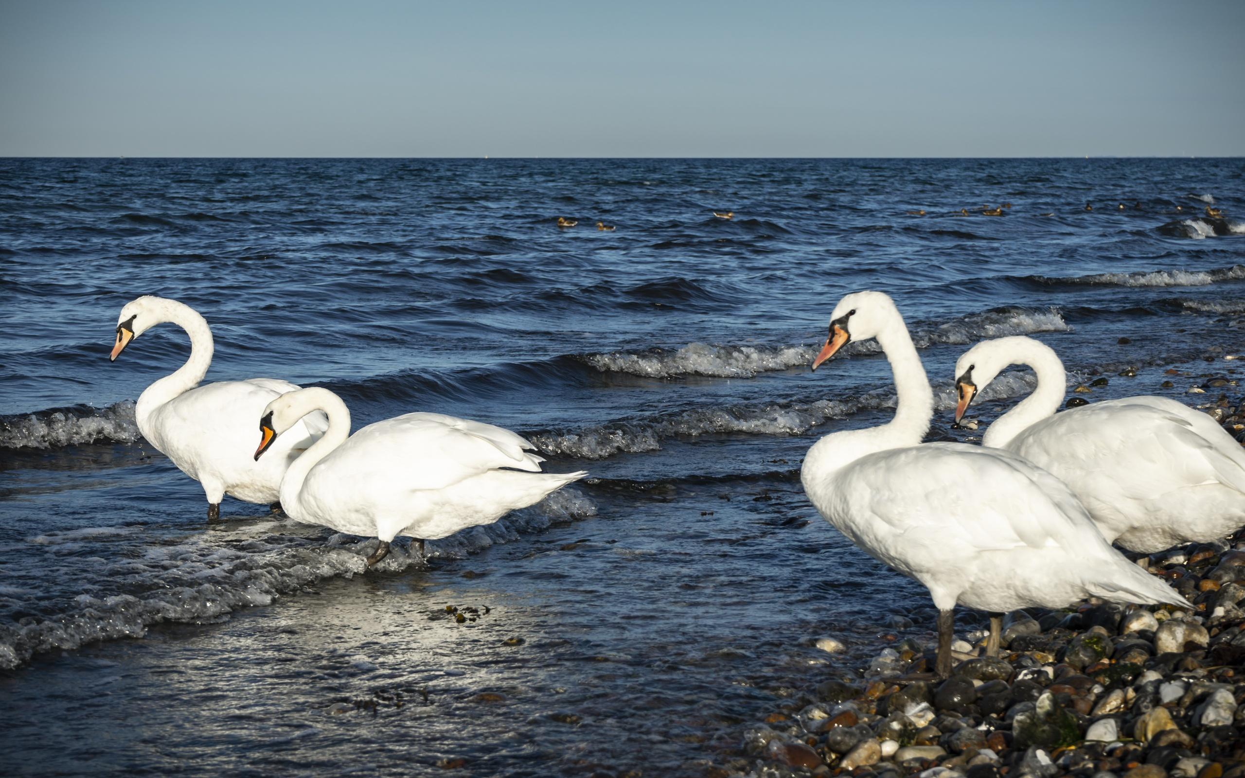 лебеди, море, перелет