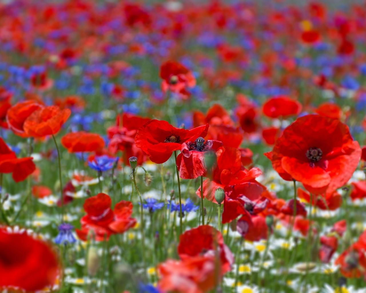 маки, крупным планом, цветы