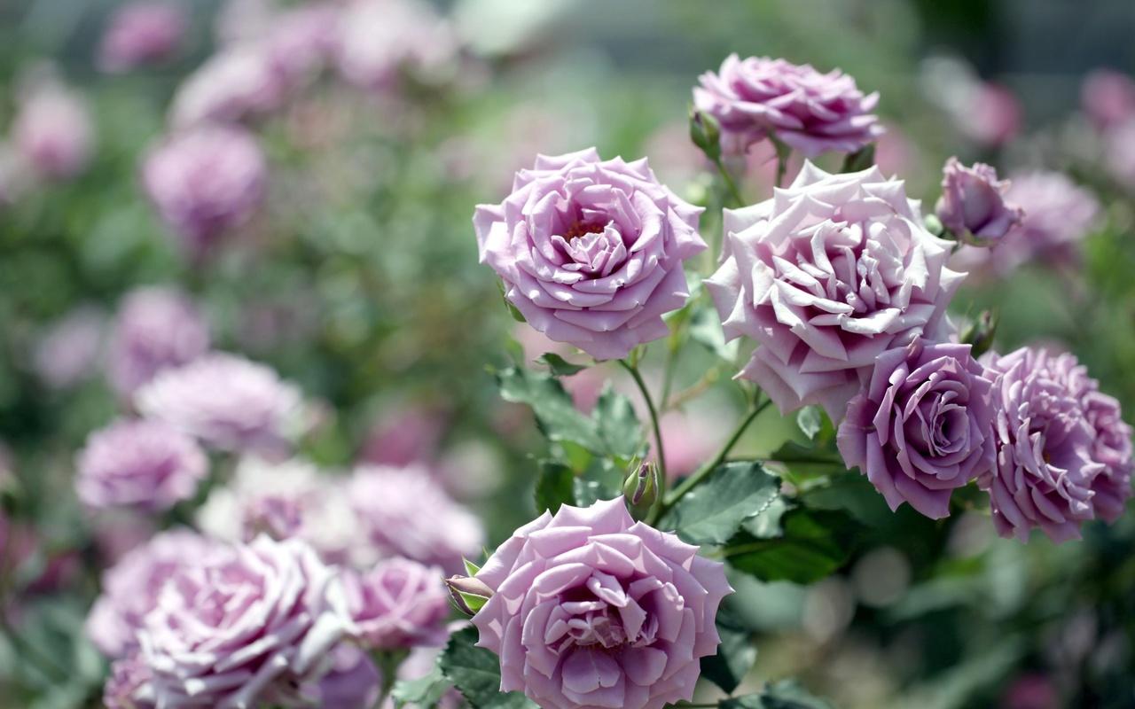 светло-фиолетовые, розы