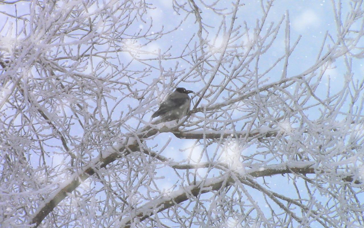 зима, ветки, иней, снег, птица