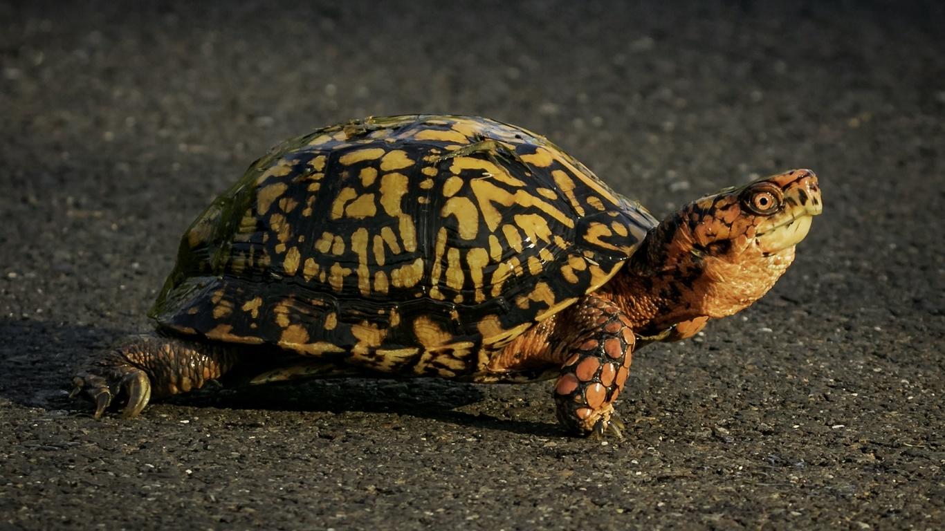 животные, черепаха